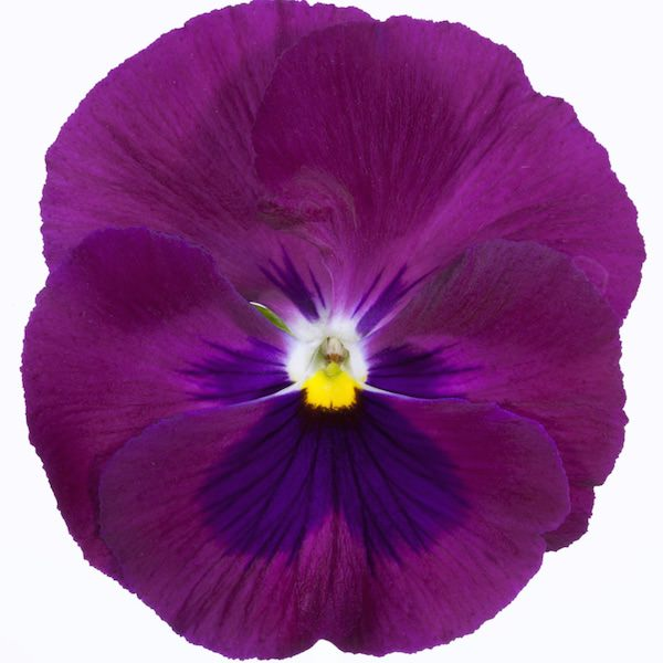 Pansy, Italia Rose Blotch