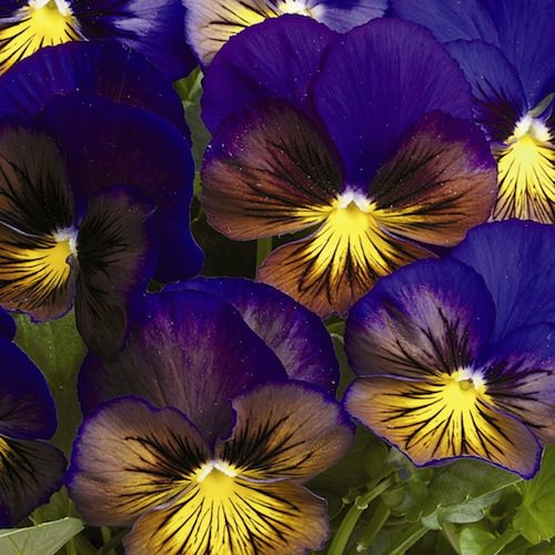Pansy Karma Blue Butterfly - Annual Flower Seeds