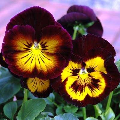 Pansy Karma Midnight Sun - Annual Flower Seeds