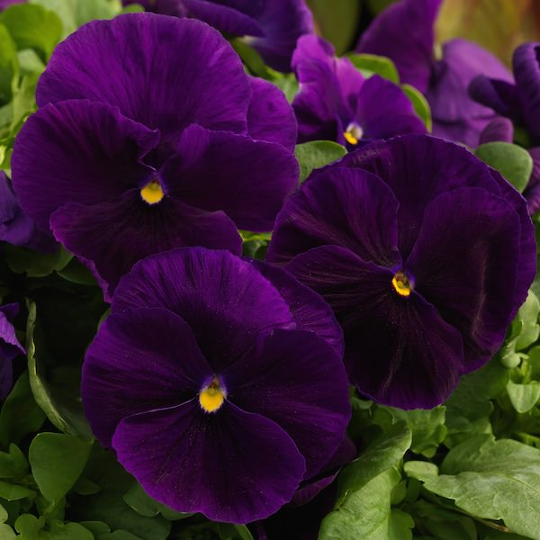 Pansy Majestic Giants 2 Clear Purple