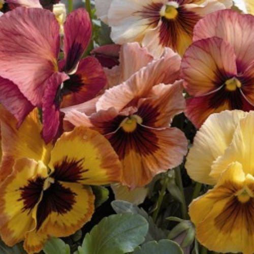 Pansy Mariposa Peach Shades - Annual Flower Seeds