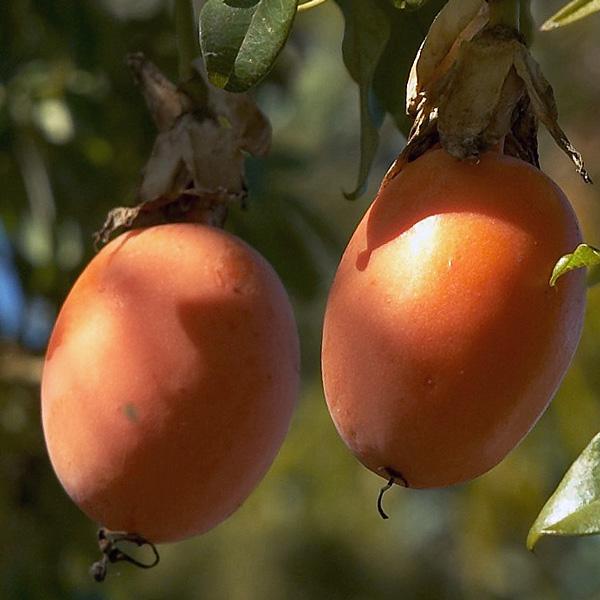 Passiflora caerulea fruit