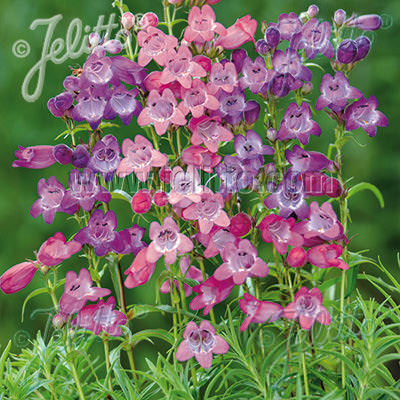 Penstemon Sunburst Colours - Penstemon x mexicale