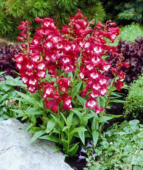 Penstemon Tubular Bells Wine Red with White Throat - Penstemon hartwegii - Perennial Flower Seeds.