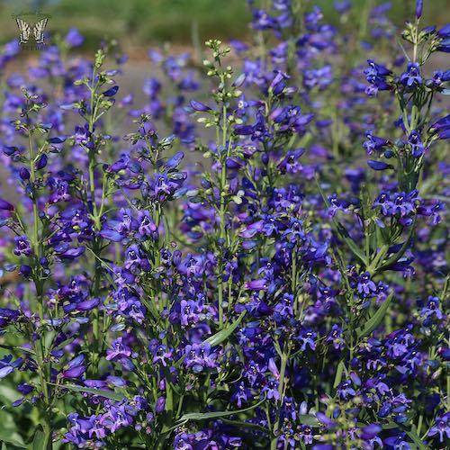 Penstemon Twizzle Blue - Penstemon barbatus