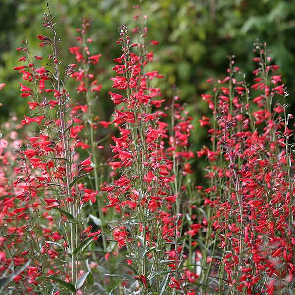 Penstemon Twizzle Scarlet - Penstemon barbatus - Perennial Flower Seeds.