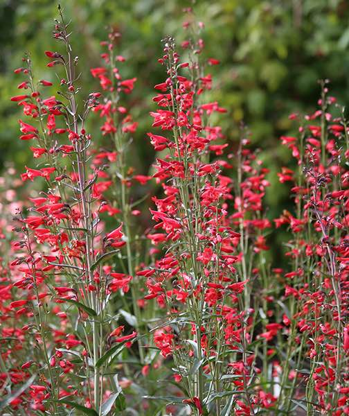 Penstemon Twizzle Scarlet - Penstemon barbatus
