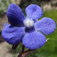 Anchusa azurea