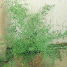 Asparagus Fern plants