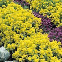 Basket-of-Gold flower clusters