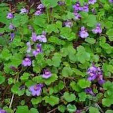 Cymbalaria