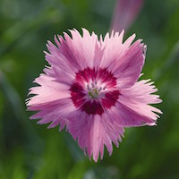 Dianthus spp.