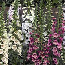 Foglove, Camelot series garden seed