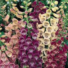 Foglove flower garden seeds