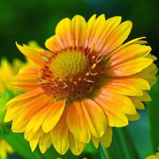 Gaillardia plants are drought-tolerant. Perennial