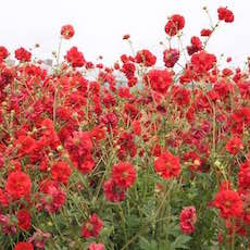 red Geum flowers
