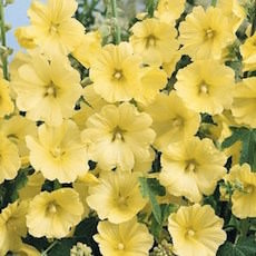 Hollyhock, Russian Yellow
