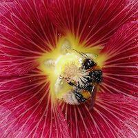 Hollyhock Single Flowered