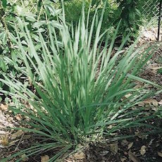 Cymbopogon flexuosus