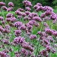Verbena spp.