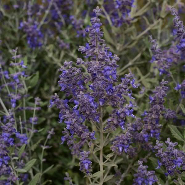Russian Sage Blue Steel - Perovskia atriplicifolia