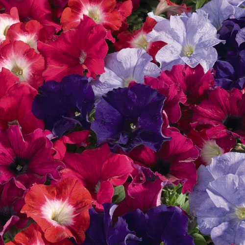 Aladdin Arabian nights petunia