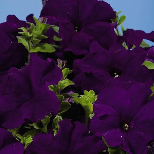 Petunia Aladdin Blue seeds