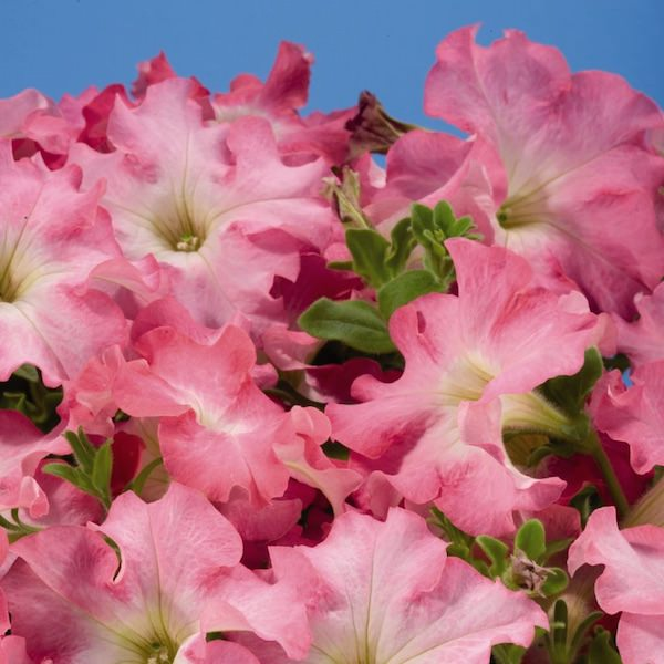 Aladdin Peach Morn annual flowers petunia