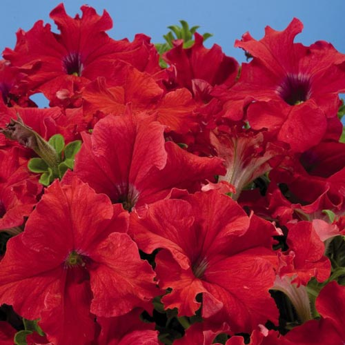 Petunia Aladdin Red seeds
