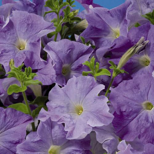 Aladdin Sky Blue petunia