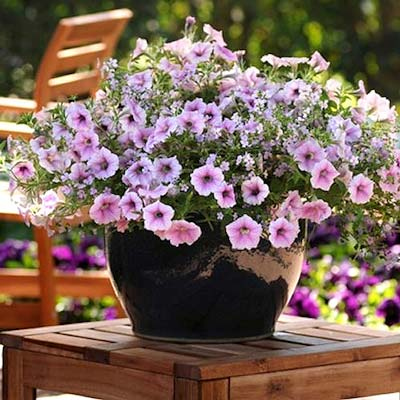 Cotton Candy Fuseables Petunia Bacopa