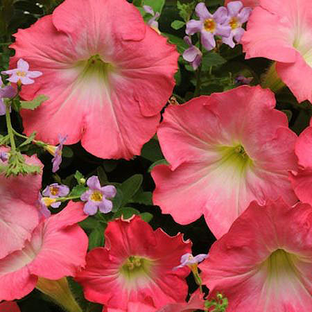 Blue Dawn Fuseables petunia/bacopa