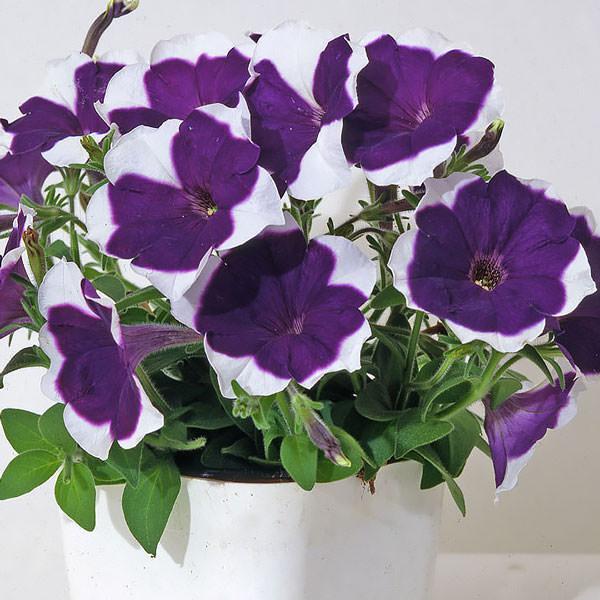 Bella Picotee Blue petunia