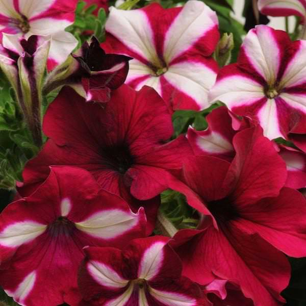 Petunia Burgundy Starlight Fuseables