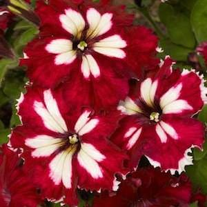 Petunia Can Can Harlequin Burgundy seeds