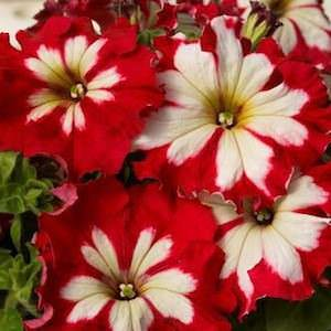 Petunia Can Can Harlequin Cherry Rose