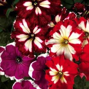 Petunia Can Can Mix seeds