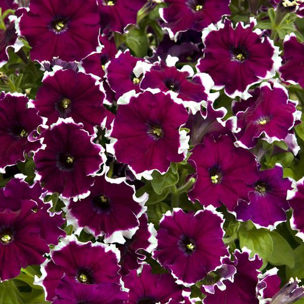 Candy Picotee Burgundy petunias