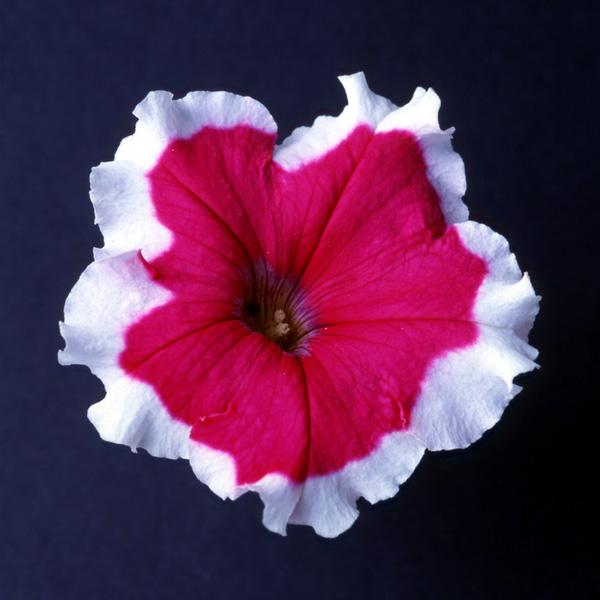 Candy Picotee Rose petunias