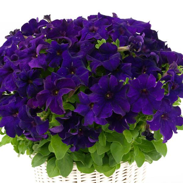 Petunia, Capri Blue - Annual Flower Seeds