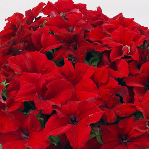 Petunia, Capri Red - Annual Flower Seeds