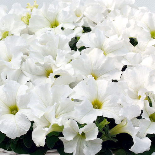 Capri White petunia