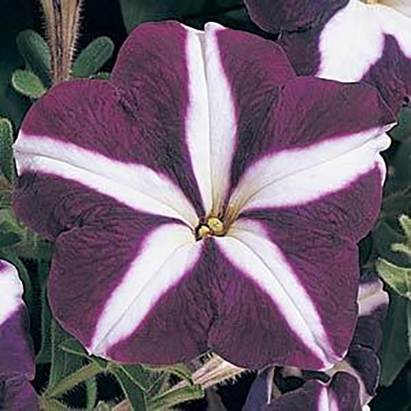 Carpet Blue Star petunia