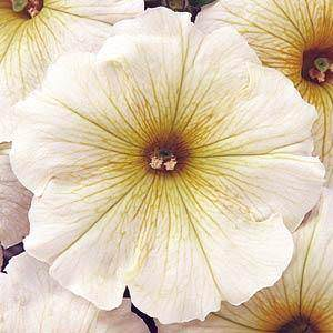 Carpet Buttercream petunia