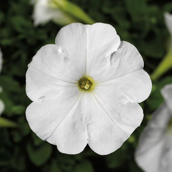 Damask White petunia