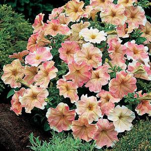 Petunia Dolcissima Flambe seeds