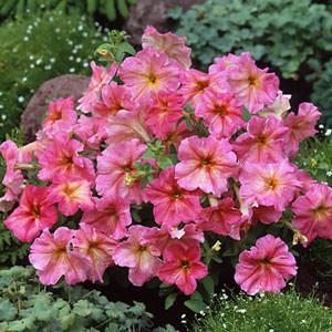 Dolcissima Fragolino petunia