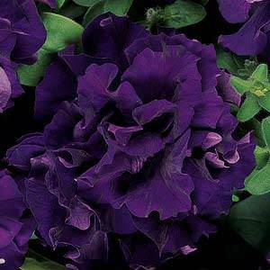 Double Cascade Blue trailing petunia seeds