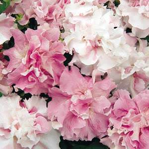 Double Cascade Orchid Mist trailing Petunia