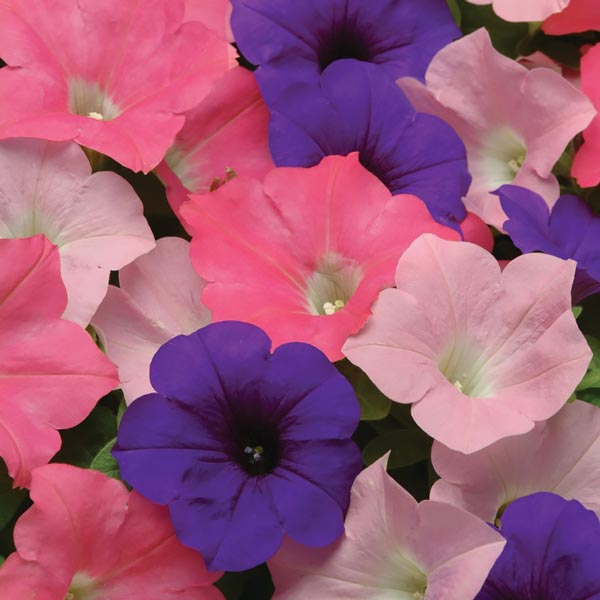 Easy Wave Beachcomber Mix trailing petunia seeds